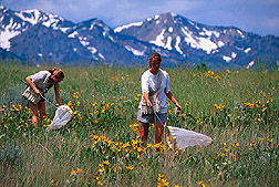 Technicians netting pollinating insects in a field near the Wellsville Mountains. Link to photo information.