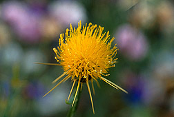 Yellow starthistle flower. Link to photo information.