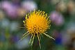 Yellow starthistle flower