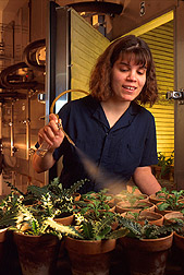 Technician Mary Winter sprays test plants with spores before placing them in a dew chamber. Link to photo information.