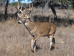 A white-tailed deer.