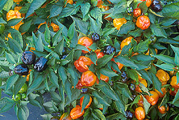 Miniature bell peppers change from purple to orange as they mature.