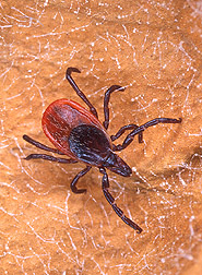 Photo: ARS tick-control efforts are targeting the female blacklegged tick. Link to photo information