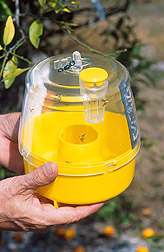 Photo: The improved version of the McPhail trap uses a combination of three chemicals to attract male and female fruit flies. Link to photo information