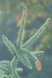 Acrocona cultivar of Picea abies: Click here for photo caption.