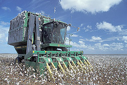 Cotton harvesting: Click here for photo caption.
