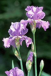 Purple iris, Iris pallida: Click here for photo caption.