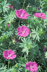 Geranium sanguineum: Click here for full photo caption.