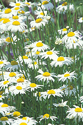 Daisylike flower, Leucanthemum vulgare: Click here for photo caption.