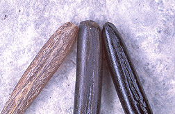 Wild rice grains: Click here for full photo caption.