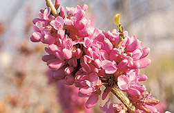The Don Egolf Chinese redbud: Click here for full photo caption.