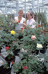 Two technicians examine rose cultivars: Click here for full photo caption.
