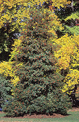 Scepter holly cultivar: Click here for full photo caption.
