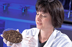 Technician rolls nematode-infected cadavers: Click here for full photo caption.