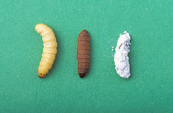 Wax moth larva: Click here for full photo caption.