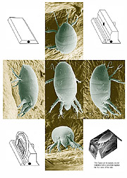 Photographs of a female broad mite: Click here for full photo caption.