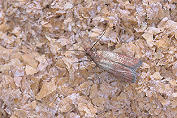 Adult moth of Plodia interpunctella, commonly known as the Indianmeal moth: Click here for full photo caption.