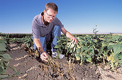 Phil Miklas examines bean plants in a test plot. Link to photo information
