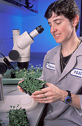 Molecular geneticist inspects Arabidopsis thaliana plants: Click here for full photo caption.