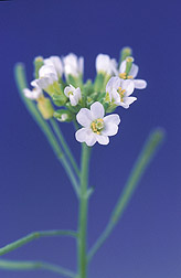 Flowers of an experimental Arabidopsis thaliana plant: Click here for full photo caption.