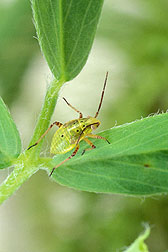 A tarnished plant bug: Click here for full photo caption.