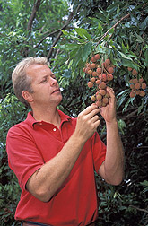 Photo: Entomologist Peter Follett inspects a panicle of ripening lychee fruit for insect damage. Link to photo information
