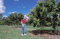 Horticulturist observes a flowering longan tree: Click here for full photo caption.
