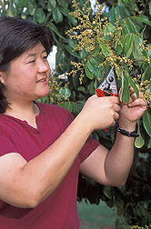 Photo: Horticulturist Tracie Matsumoto collects a sample from a longan tree to isolate the genes involved in flowering. Link to photo information