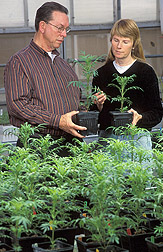 Plant pathologist holds a plant with compost added to it and a technician holds a plant without compost: Click here for full photo caption.