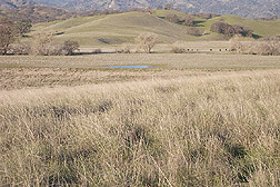 Deep-rooted California native perennial grasses: Click here for full photo caption.