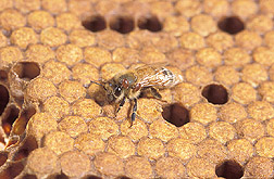 An adult worker honey bee with two Varroa mites on its thorax: Click here for full photo caption.