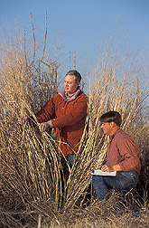 Two technicians measure switchgrass stem density and geometry: Click here for full photo caption.