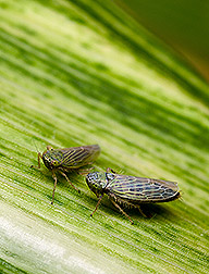 Two black-faced leafhoppers: Click here for full photo caption.