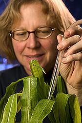 Technician uses an aspirator to collect black-faced leafhoppers: Click here for full photo caption.
