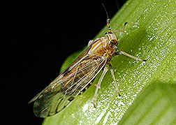 A corn planthopper:  Click here for full photo caption.