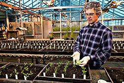 """Tim Mendiola usa el método de """"frotar la hoja"""" para transmitir el virus del mosaico de la vaina del poroto a la soya en un invernadero. Enlace a la información en inglés sobre la foto"""