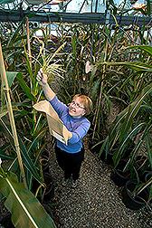 Peg Redinbaugh poliniza maíz durante experimentos para mapear la resistencia al virus. Enlace a la información en inglés sobre la foto