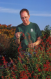 Curator of the National Herb Garden working with Salvia elegans: Click here for full photo caption.