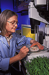 Technician examines sorghum roots and root hairs: Click here for full photo caption.
