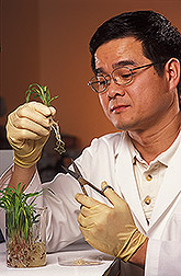 Molecular biologist prepares sorghum roots from seedlings: Click here for full photo caption.