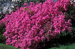 Azaleas: Link to photo information