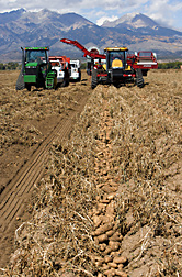Potatoes being harvested in the San Luis Valley of south-central Colorado: Click here for full photo caption.