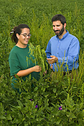 Technician and ecologist inspect the prolific seed production of common waterhemp: Click here for full photo caption.