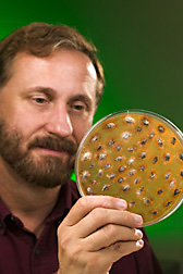 Microbiologist holds a culture of giant ragweed seeds embedded in agar, some overgrown with soil microorganisms: Click here for full photo caption.