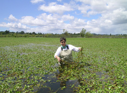 ARS plant ecologist stands amid early spring growth of water primrose in California's Laguna de Santa Rosa: Click here for full photo caption.