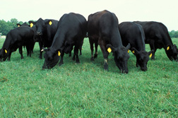 Angus cattle: Click here for photo caption.
