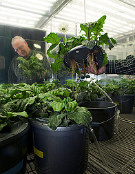 Plant pathologist examines roots of Gerbera plants grown hydroponically in a nutrient solution containing silicon: Click here for full photo caption.