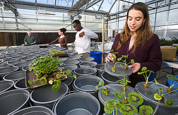 To evaluate the role of silicon in plant health, a hydroponic study is being prepared in a Toledo Botanical Gardens greenhouse by (left to right) plant pathologist, University of Toledo students, and ARS technician: Click here for full photo caption.