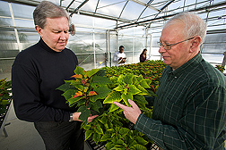 Two plant pathologists inspect poinsettias for nutrient stress (stressed plant is on right): Click here for full photo caption.
