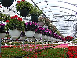 Greenhouse filled with flowering plants in hanging pots and in flats on tables. Link to photo information